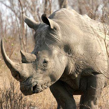 A Veces Soy Un Rinoceronte
