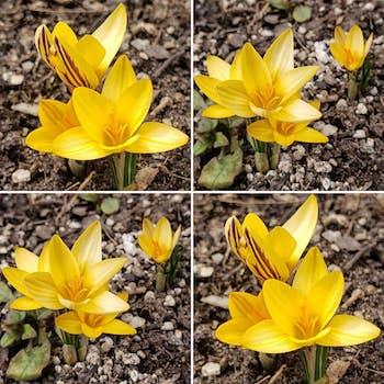 * 56 - La tierra baldía se alegrará y florecerá el azafrán de primavera. Así es, habrá abundancia de flores, de cantos y de alegría. -Isaías 35:1-2